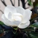 May Magnolia